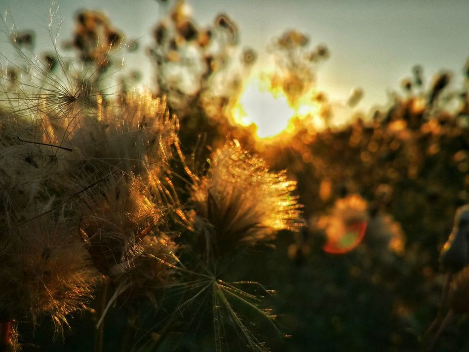 Close-up Plant Sunset Nature Outdoors Field Sun Sky Non-urban Scene