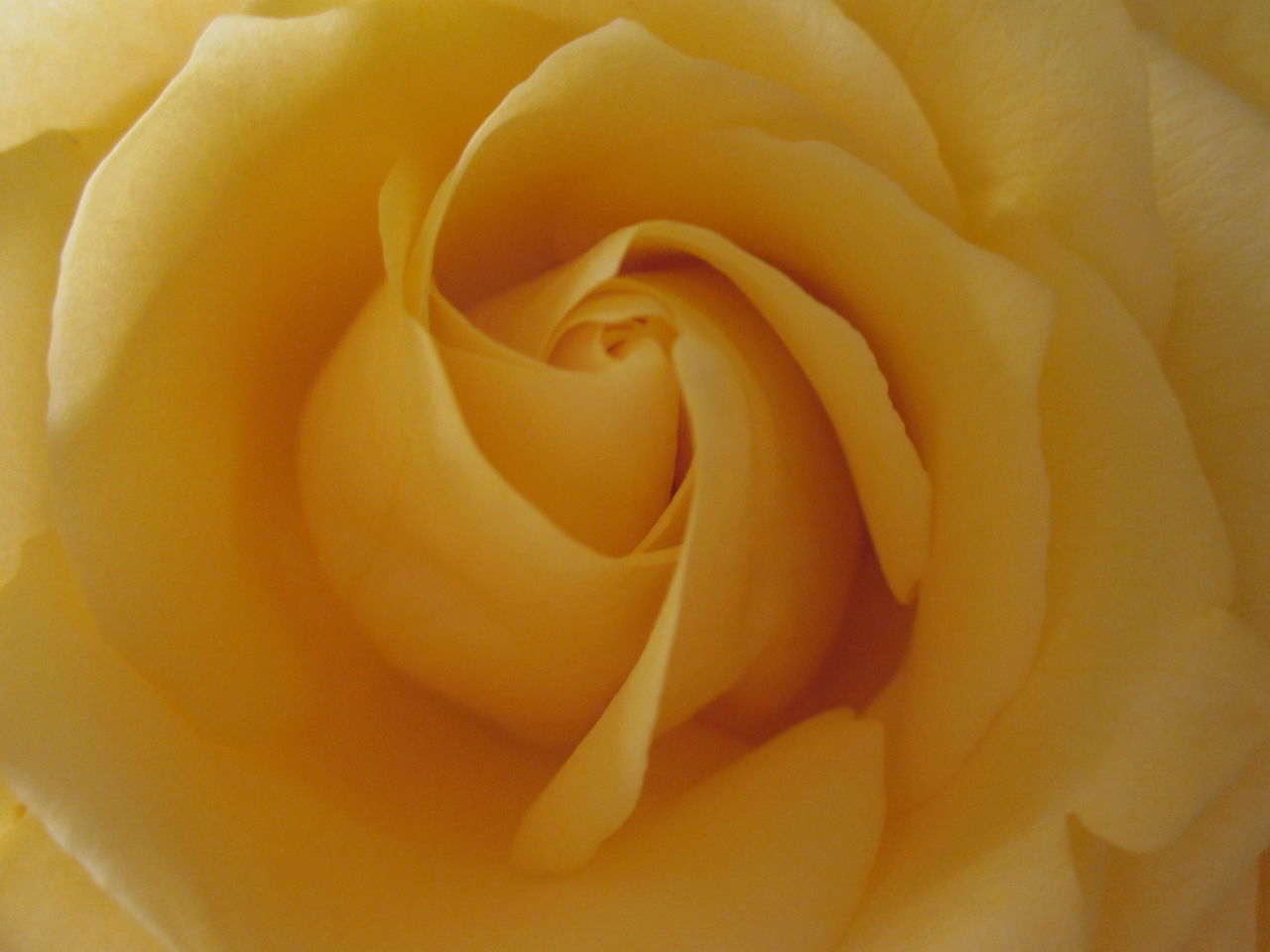 Backgrounds Beauty In Nature Close-up Day Flower Flower Head Fragility Freshness Full Frame Growth Love Nature No People Outdoors Petal Rosé Yellow Yellow Rose