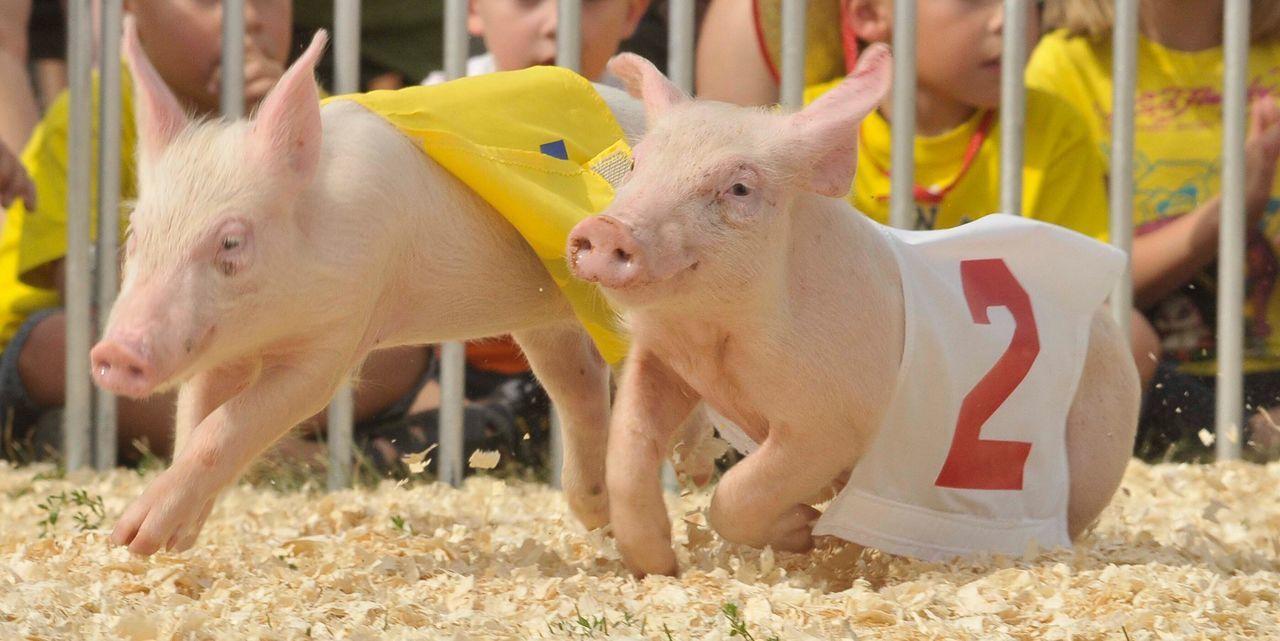Pig Race Piglet Racing Animal Mammal One Animal Animal Themes Grass Livestock Outdoors Domestic Animals Fair Fairground Festival Fun 2