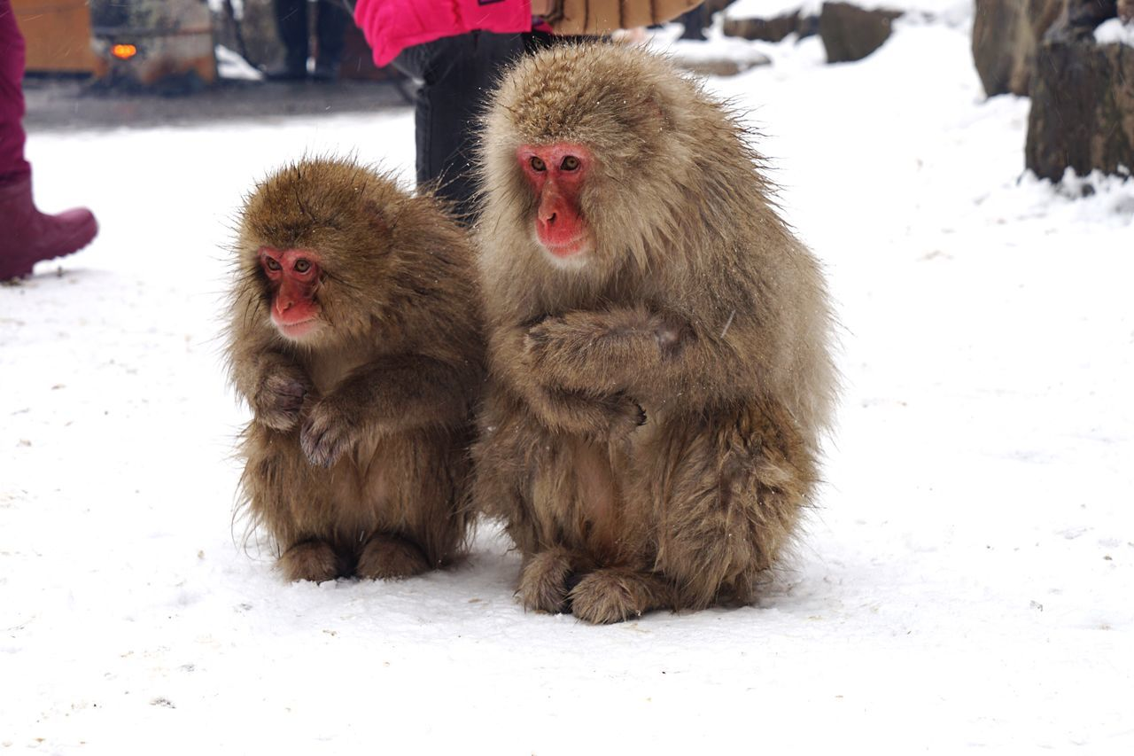 Cold Temperature Snow Winter Japanese Macaque Mammal Animal Themes Nature Animals In The Wild Outdoors Monkey No People Day Tolerate Travel Destinations Snowing Geology Animal Wildlife Snowmonkeys 地獄谷野猿公苑 Lovely at Jigokudani Monkey Park in Nagano Prefecture,Japan Hot Spring