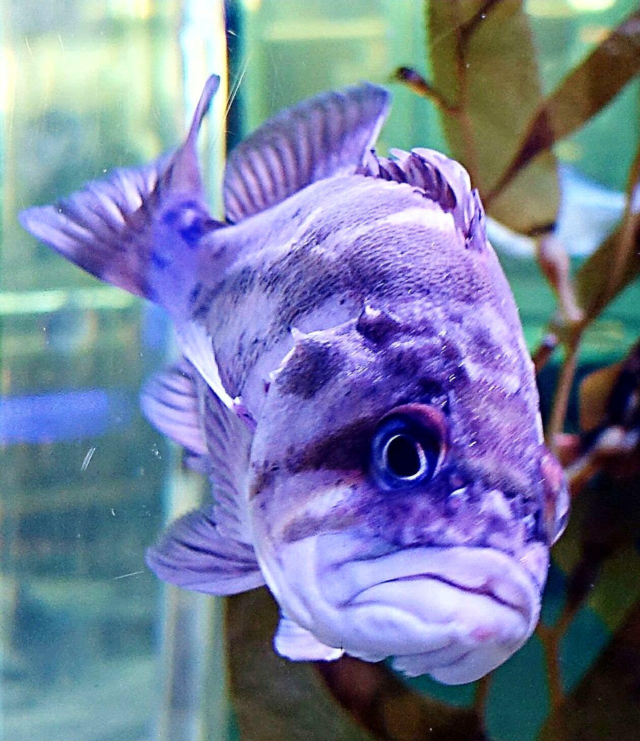 Don't Get Him Mad. Fish Closeup aquarium Purple Focus On Foreground Exotic Creatures Fresh On Eyeem  EyeEm Best Shots