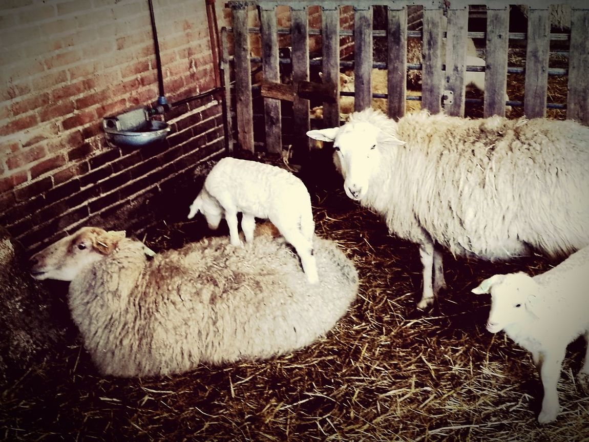 Sheep Stepstool First Eyeem Photo