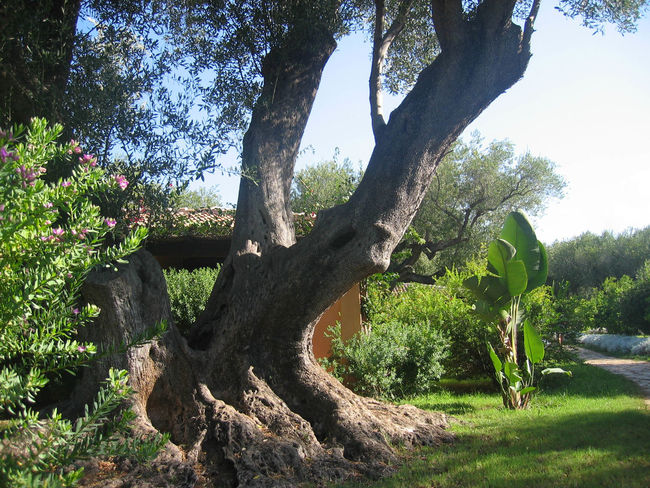 Agrarian Agriculture Beauty In Nature Green Color Growth If Trees Could Speak Nature No People Oil Olive Tree Outdoors Sky Tree Tree Trunk Trunk