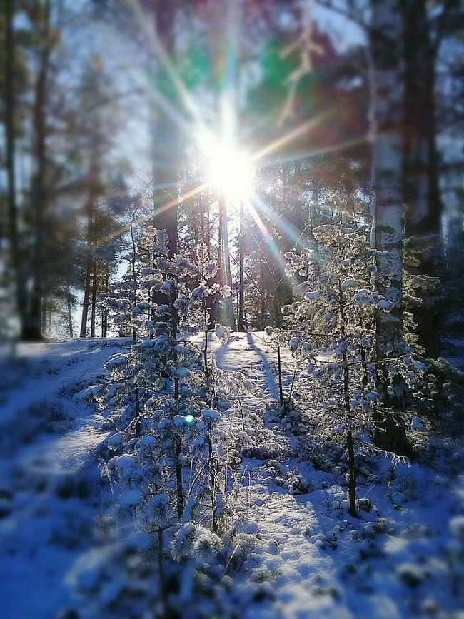 Outdoor Photography Nature Outdoor Great Outdoors Woods Sun Shining Nature Photography Naturelovers Outdoors Sunny Day Trees Selective Focus Snowy Forest Walking In The Woods Enjoying The Sun In The Forest Light And Shadow Pines Sunshiningthoughthetrees Sunrays Shining Bright Finland