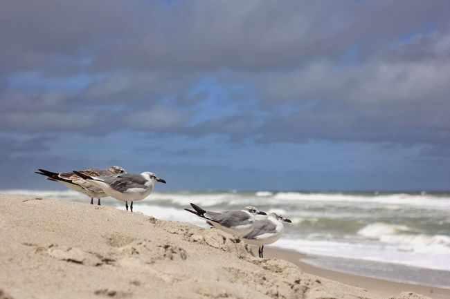 Seagulls sitting out the storm Animals In The Wild Seagulls Shore Birds Oceanscape Melbourne Beach, FL Animal Themes Wildlife Seagull Beach Sand Focus On Foreground Sea Bird Selective Focus Beach Birds Windy Day
