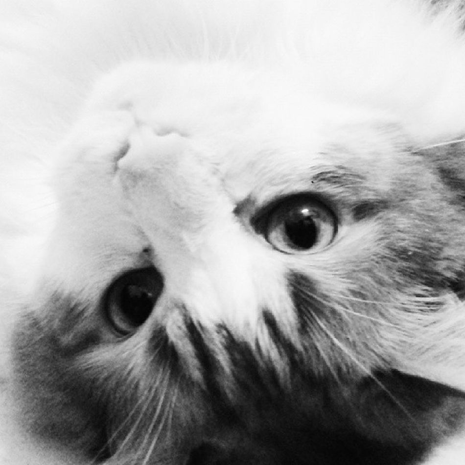 Cat Animal Mingau Photo photograph like love life instalike instalove