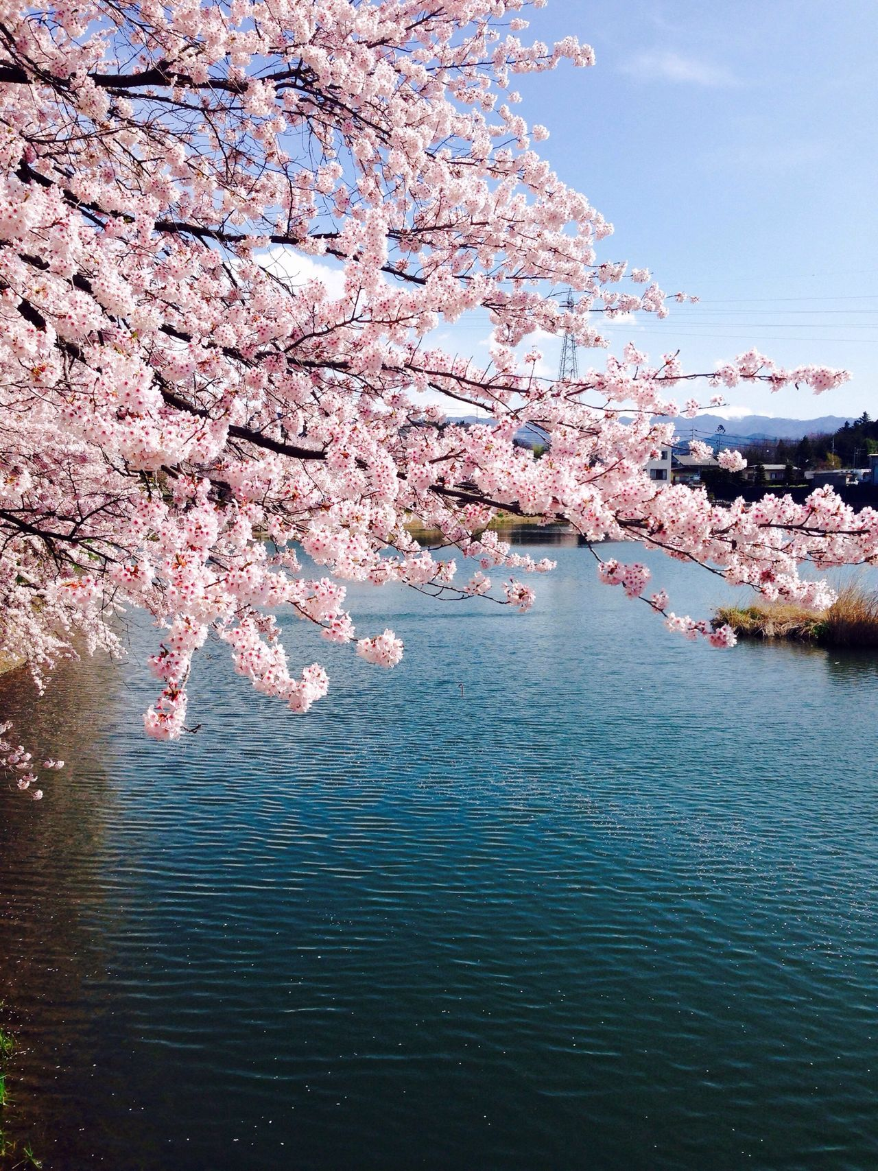 Pink and blue Sakura Sakura2016 Cherry Spring Pond 桜 牛池 春