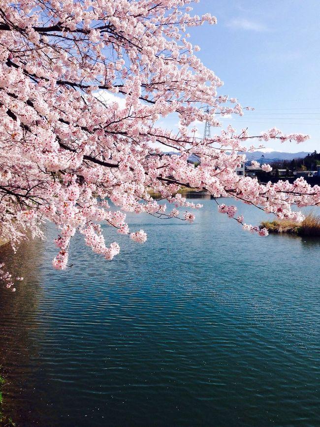 Pink and blue Sakura Sakura2016 Cherry Spring Pond 桜 牛池 春