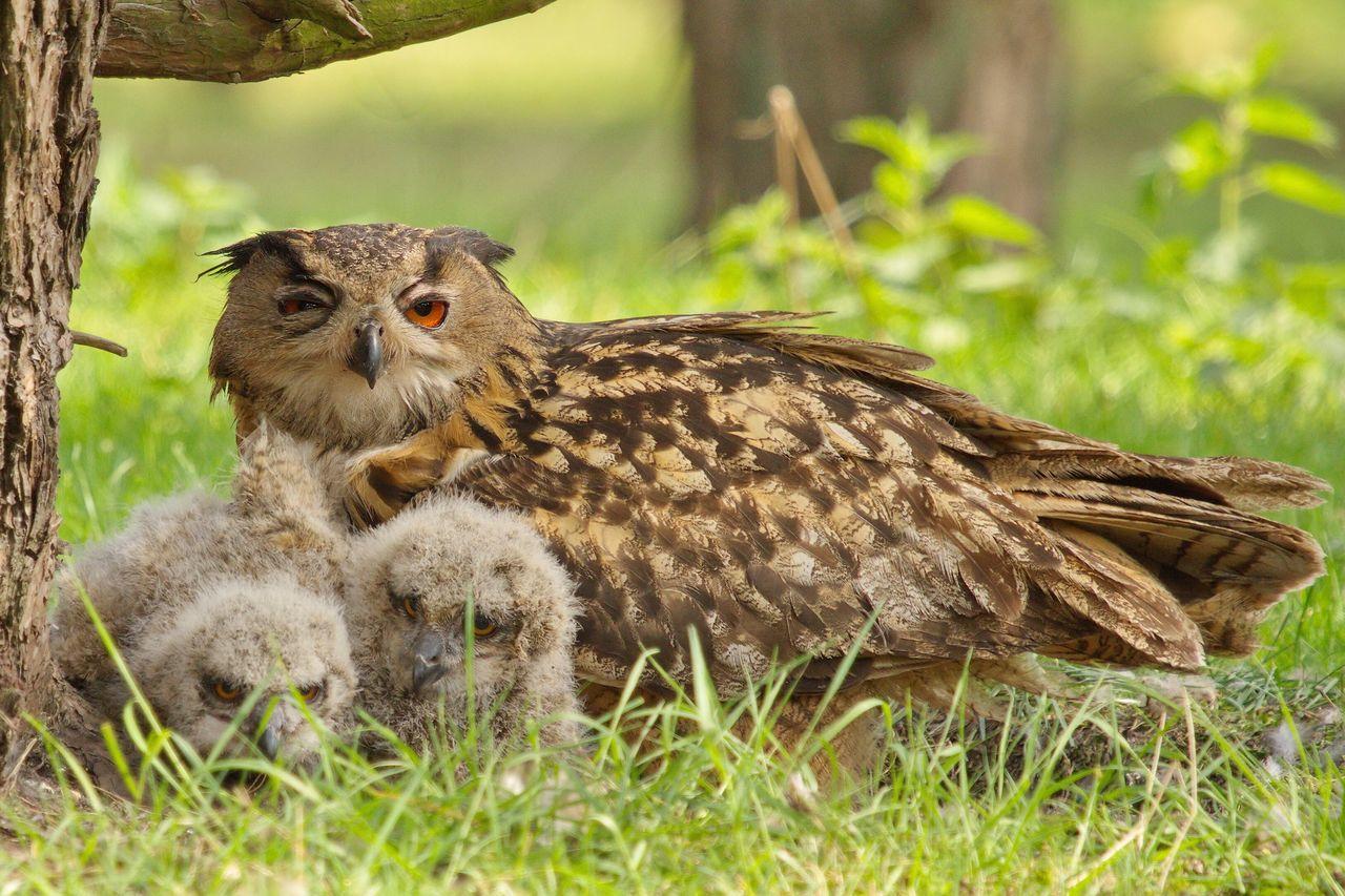 Oehoe, Eurasian Eagle Owl