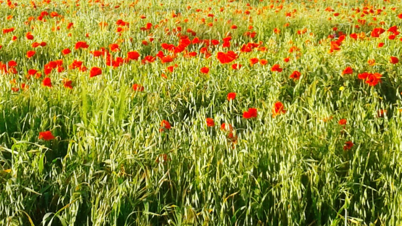 Growth Red Field Nature Grass Full Frame No People Outdoors Beauty In Nature Backgrounds Day Close-up Poppy Freshness