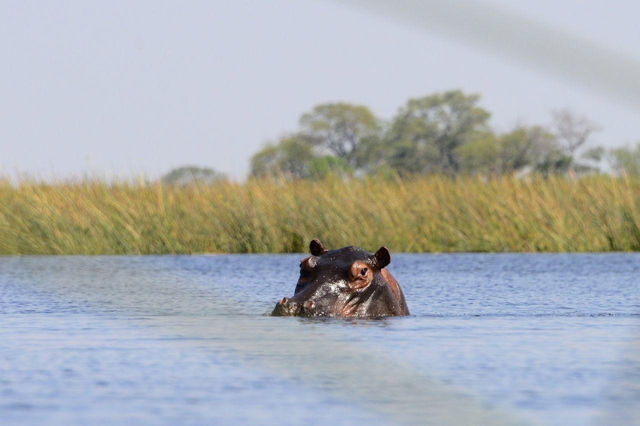 Okavango Delta Botswana Botswana National Park Africa Animal Animal Themes Animal Wildlife Animals In The Wild Beauty In Nature Hippo Hippopotamus Looking At Camera Nature No People Okavango Delta Okavango River One Animal Outdoors River Safari Animals Water