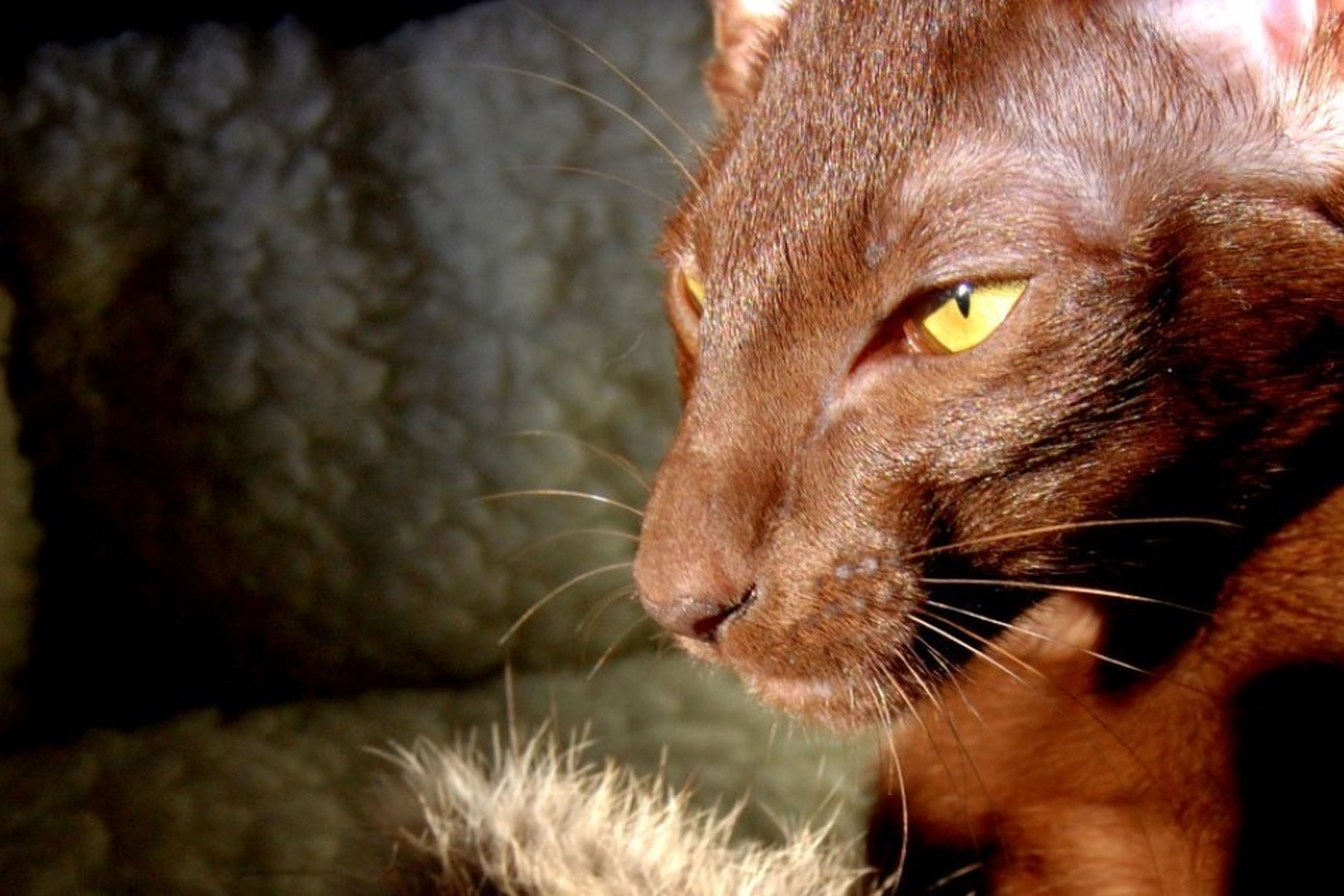 pets, one animal, animal themes, domestic animals, domestic cat, mammal, cat, feline, whisker, close-up, animal head, focus on foreground, selective focus, looking away, indoors, alertness, animal body part, no people, portrait, auto post production filter
