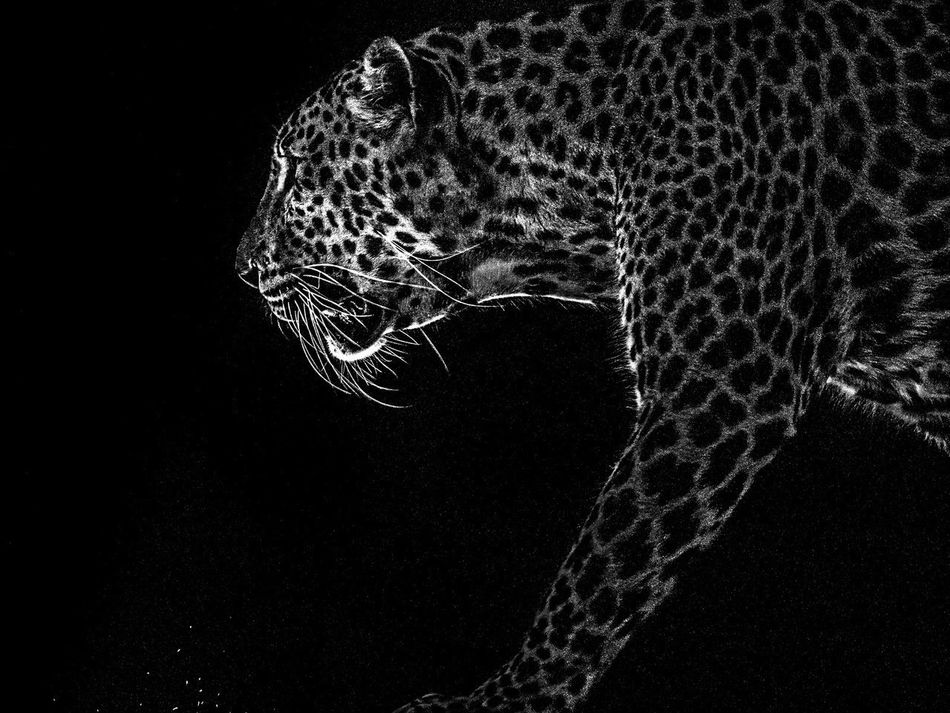 Animal Leopard Shadow Exotic Animal Nature