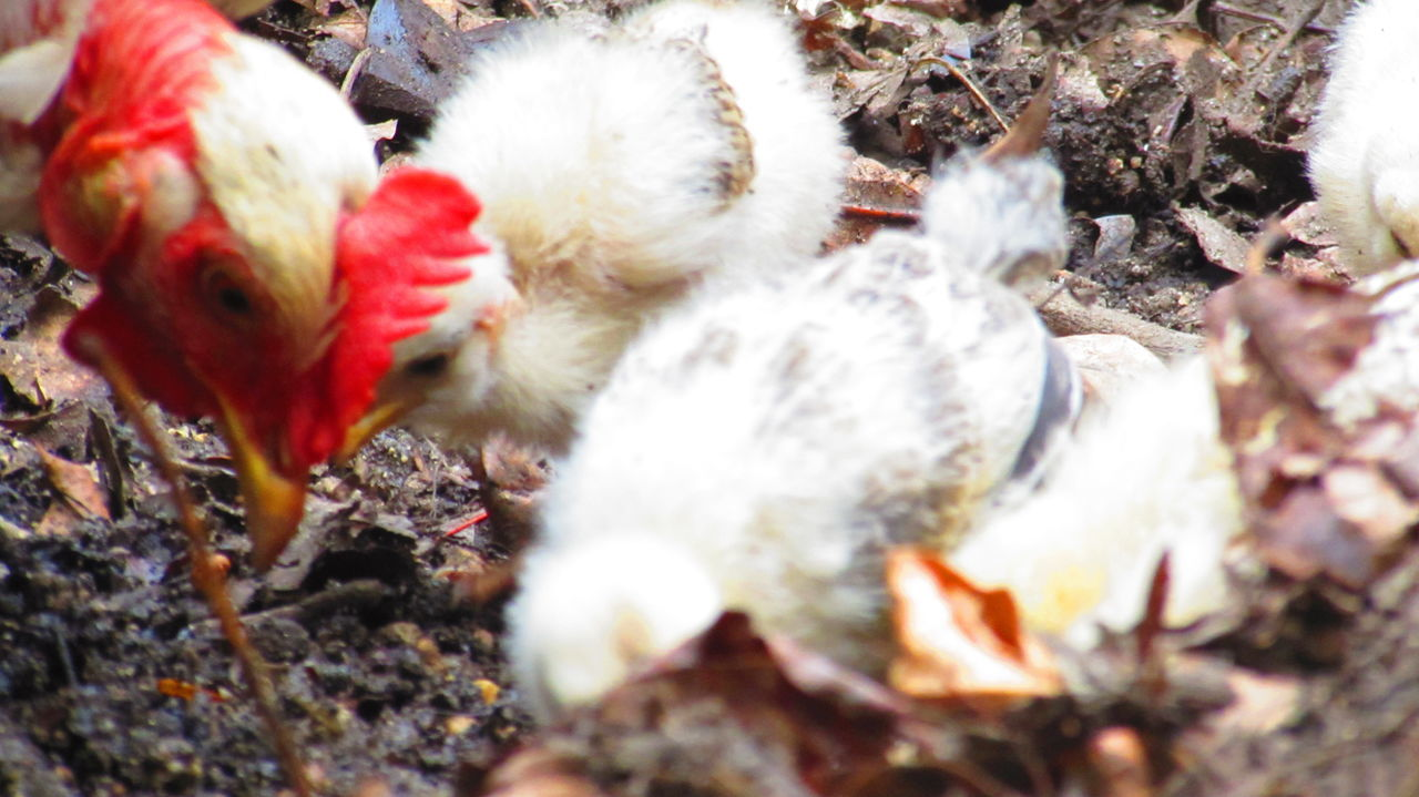 Animal Themes Beauty In Nature Chicken Day Domestic Animals Fallen Leaf Field Little Chicken Nature Non-urban Scene Outdoors Red Selective Focus Springtime Tranquility Zoology