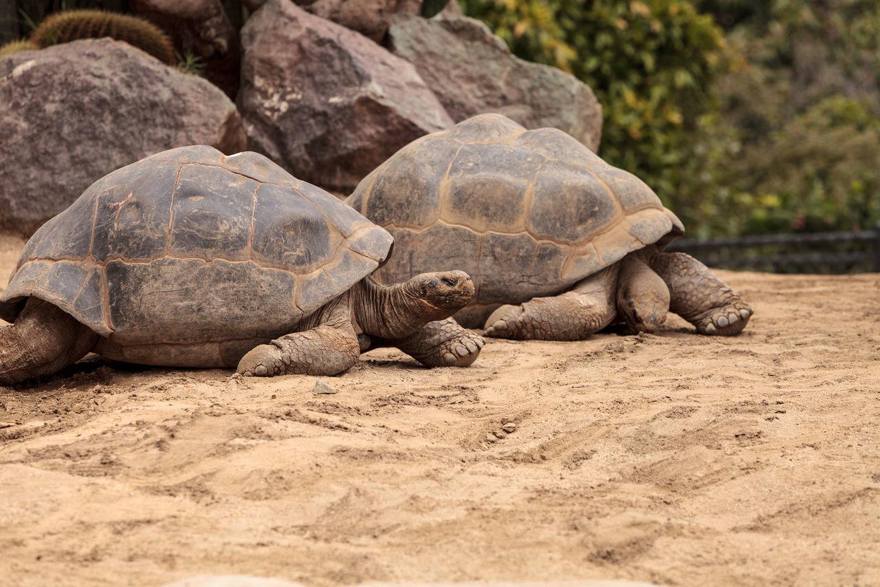 Sierra Negra Tortoise Chelonoidis nigra guntheri is part of the Galapagos Island giant tortoises. Animal Themes Animal Wildlife Animals In The Wild Chelonoidis Nigra Guntheri Day Galapagos Islands Giant Tortoise Nature No People Outdoors Reptile Reptile Sand Sierra Negra Tortoise Tortoise Tortoise Shell