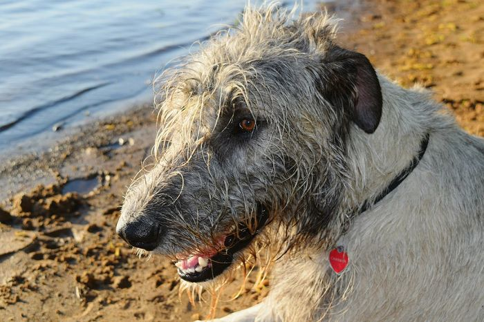 Taking Photos Check This Out Cheese! My Favorite Photo Showcase May Spring 2016 The Places I've Been Today May 2016 Evening Light Beach Life Life Is A Beach How's The Weather Today? Dogslife Cearnaigh Irish Wolfhound Elbe River Dog Love River Dogwalk Dog Of The Day Water_collection Dog Of The Year 2016 Elbe Bokeh Photography