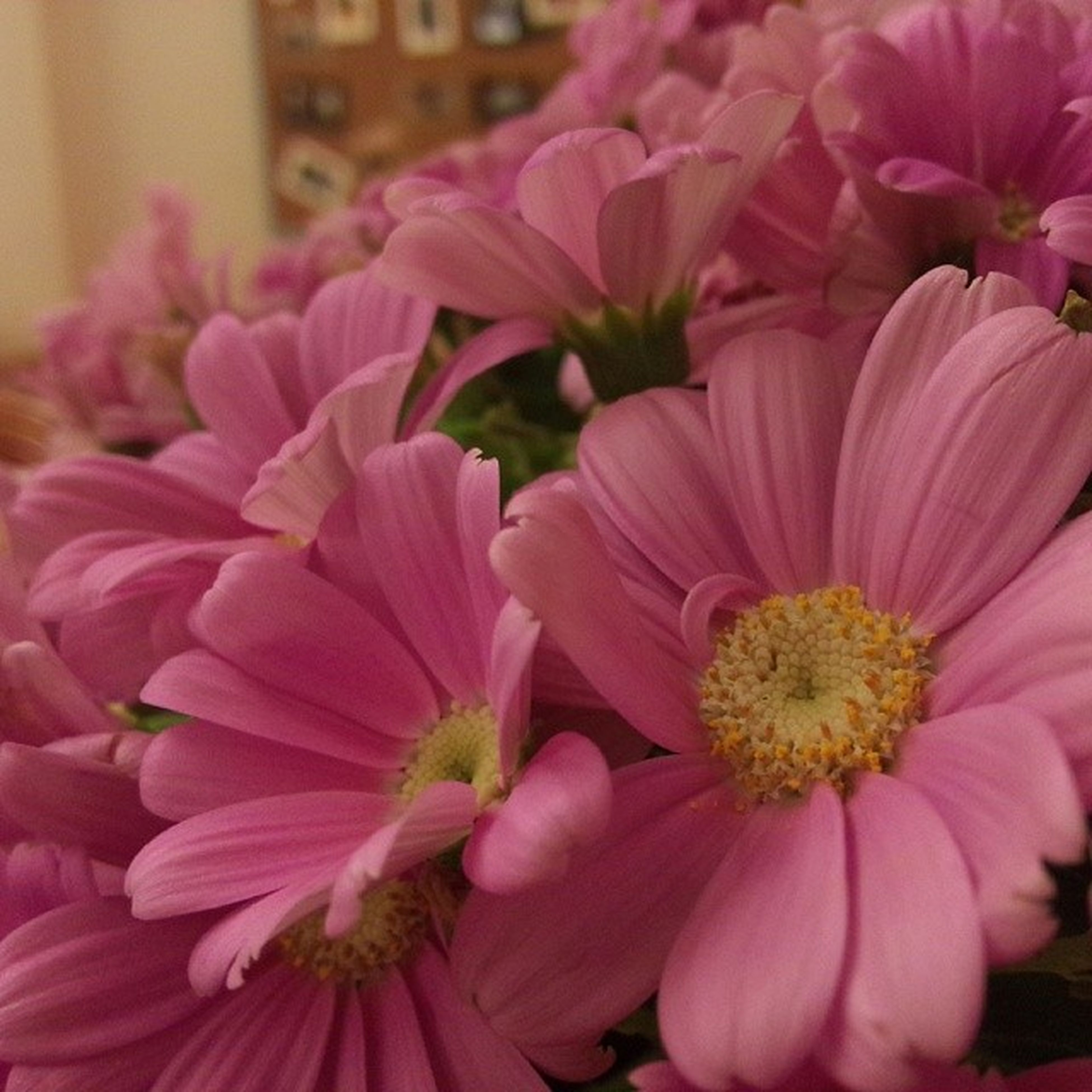 flower, freshness, petal, pink color, fragility, flower head, beauty in nature, close-up, growth, focus on foreground, nature, pink, blooming, indoors, plant, in bloom, no people, pollen, blossom, selective focus