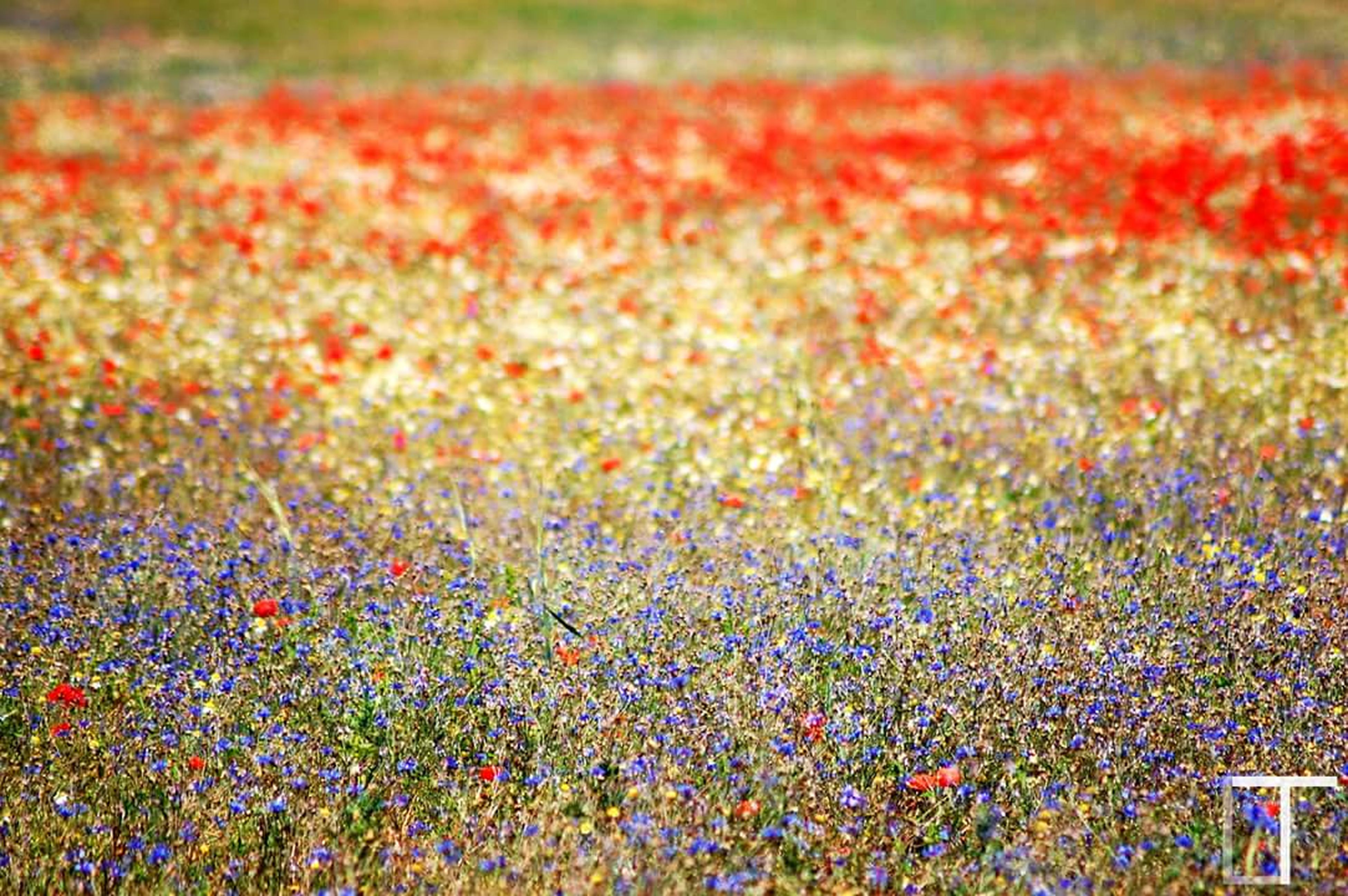 field, flower, abundance, grass, growth, beauty in nature, freshness, flowerbed, nature, multi colored, red, plant, day, fragility, tranquility, outdoors, high angle view, agriculture, landscape, blooming