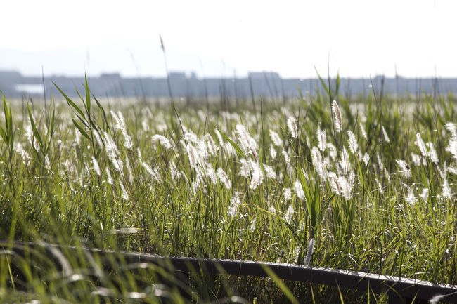 Beauty In Nature Blade Of Grass Close-up Day Field Focus On Foreground Grass Green Growth Landscape Nature No People Non-urban Scene Outdoors Plant Remote Rural Scene Scenics Selective Focus Sky Songsan Surface Level Tranquility Wildeness Windy