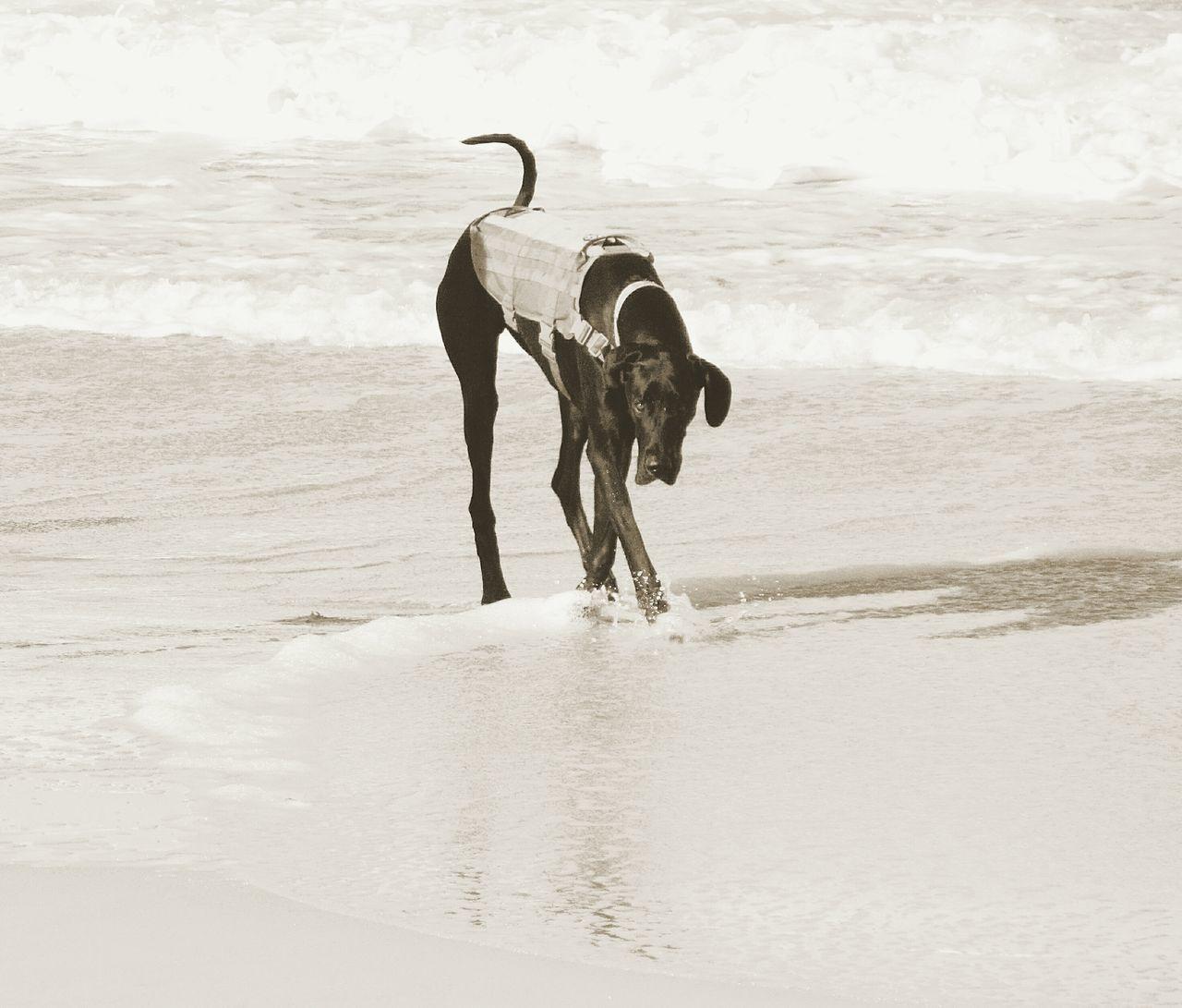 Sea Pets Beach One Animal Water Dog Domestic Animals Outdoors Mammal Nature No People Day Animal Themes Sky Sephia Dog On The Beach Dog On Beach
