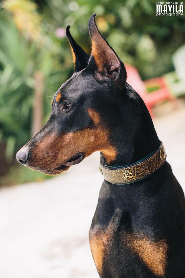 This is Loki_the_doberman and he has a new Collar Dog Dogs Doberman Pinscher Mavila Photography