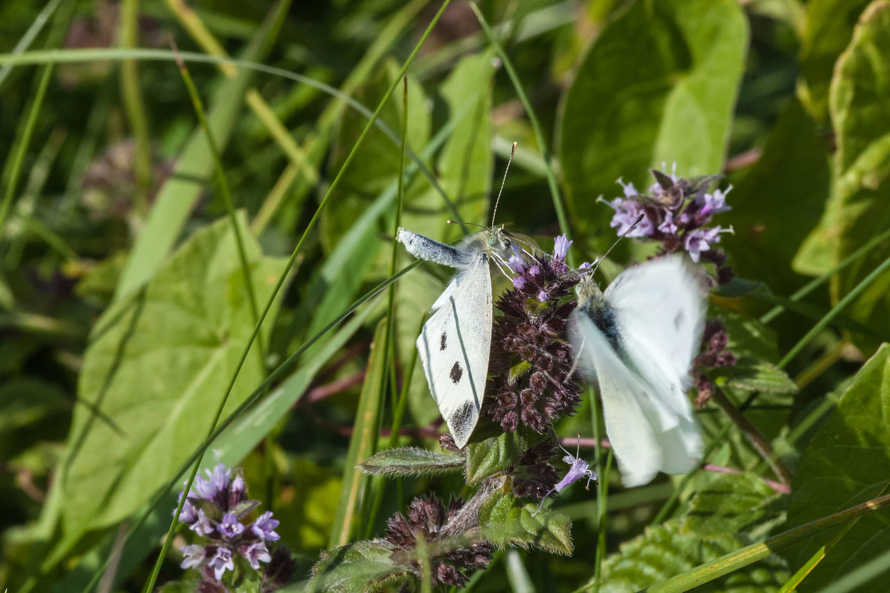 insect, one animal, animal themes, animals in the wild, butterfly - insect, green color, no people, day, butterfly, growth, close-up, nature, plant, outdoors, fragility, leaf, flower, beauty in nature, flower head