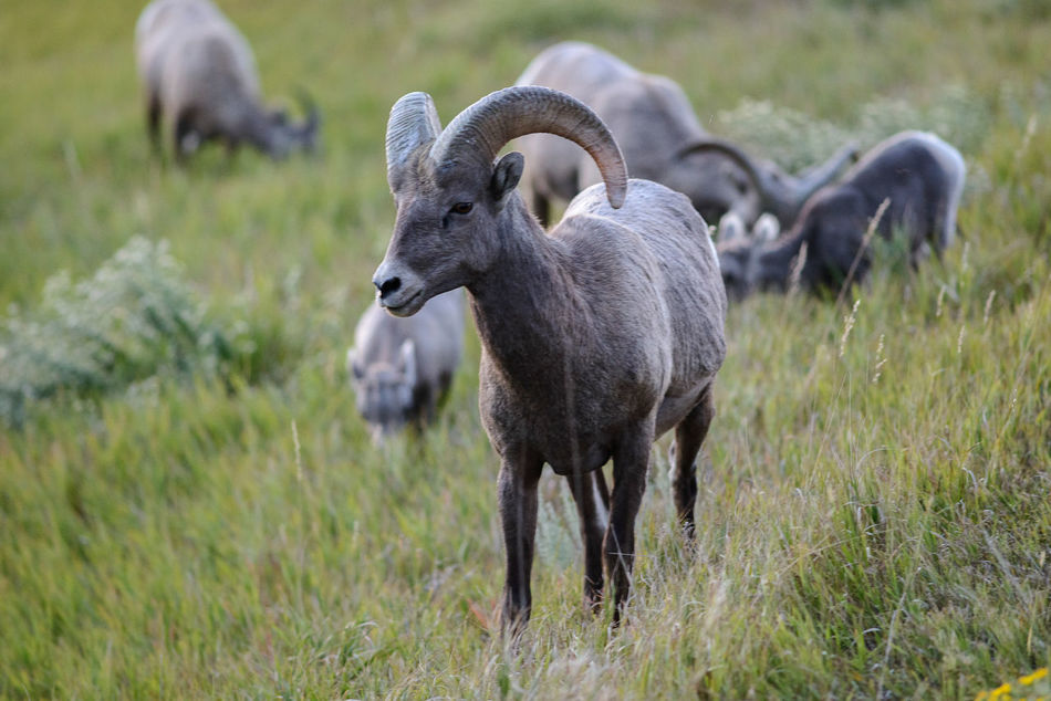 Beautiful stock photos of sheep, Animal Themes, Animal Wildlife, Animals In The Wild, Badlands National Park
