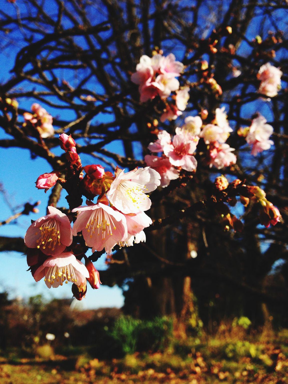 寒桜 早い開花 Cherry Blossoms お散歩 おでかけ Enjoying Life 休日 小石川植物園