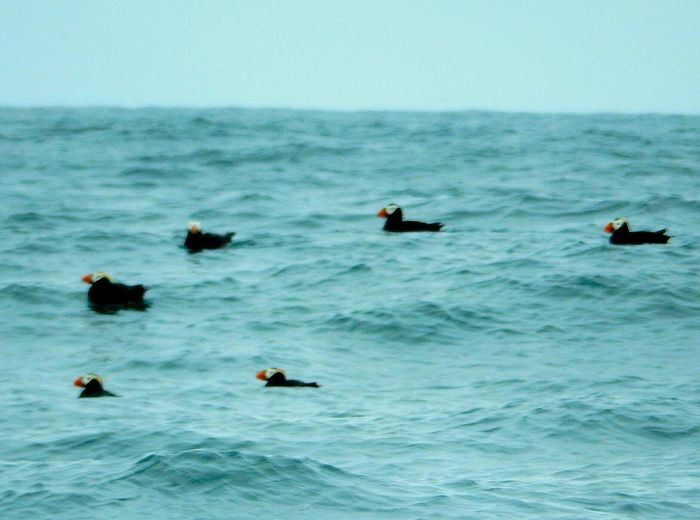 Alaska Pacific Puffins
