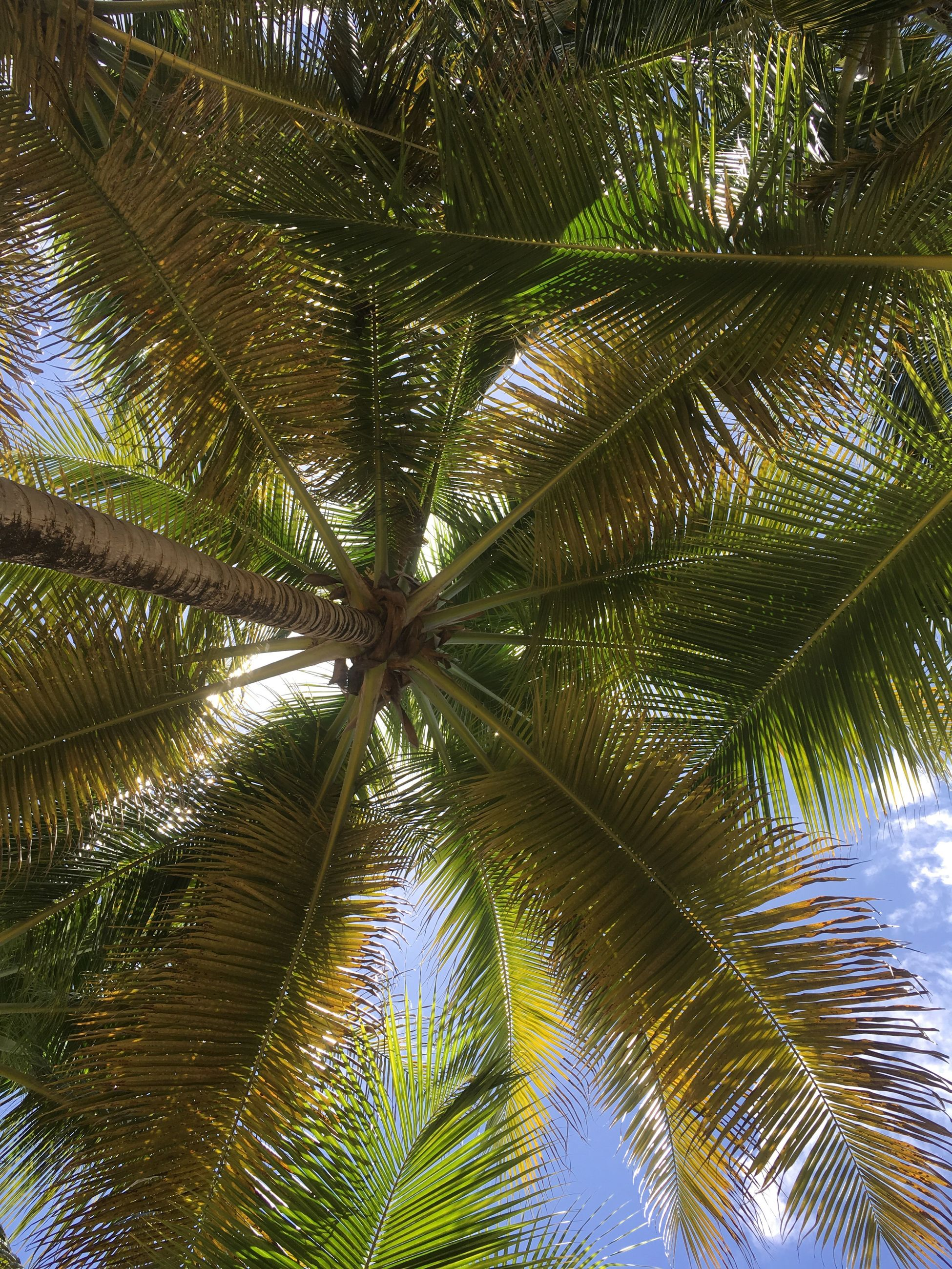 low angle view, palm tree, growth, tree, tree trunk, leaf, scenics, tranquility, tranquil scene, branch, palm leaf, beauty in nature, green color, nature, coconut palm tree, sky, tall - high, idyllic, directly below, clear sky, outdoors, tree canopy, day, tall, tropical tree, tropical climate, full frame, palm frond, frond, green, non-urban scene, summer, lush foliage, no people, lush