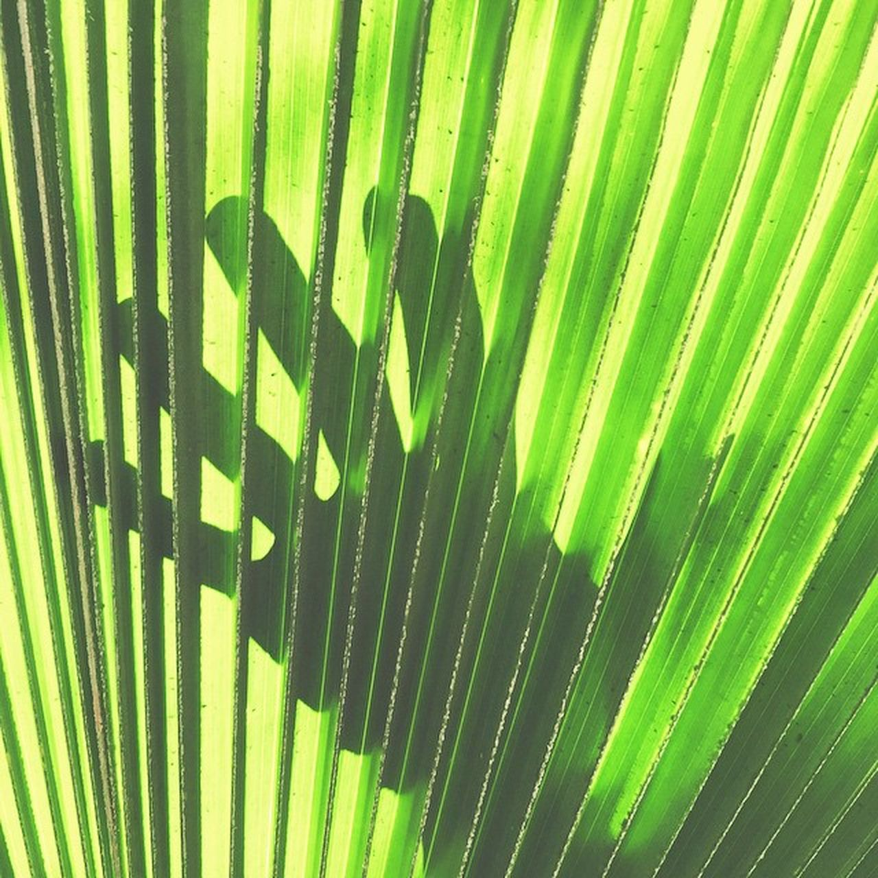 striped, palm leaf, green color, close-up, pattern, no people, day, backgrounds, outdoors, growth, palm tree, frond, nature