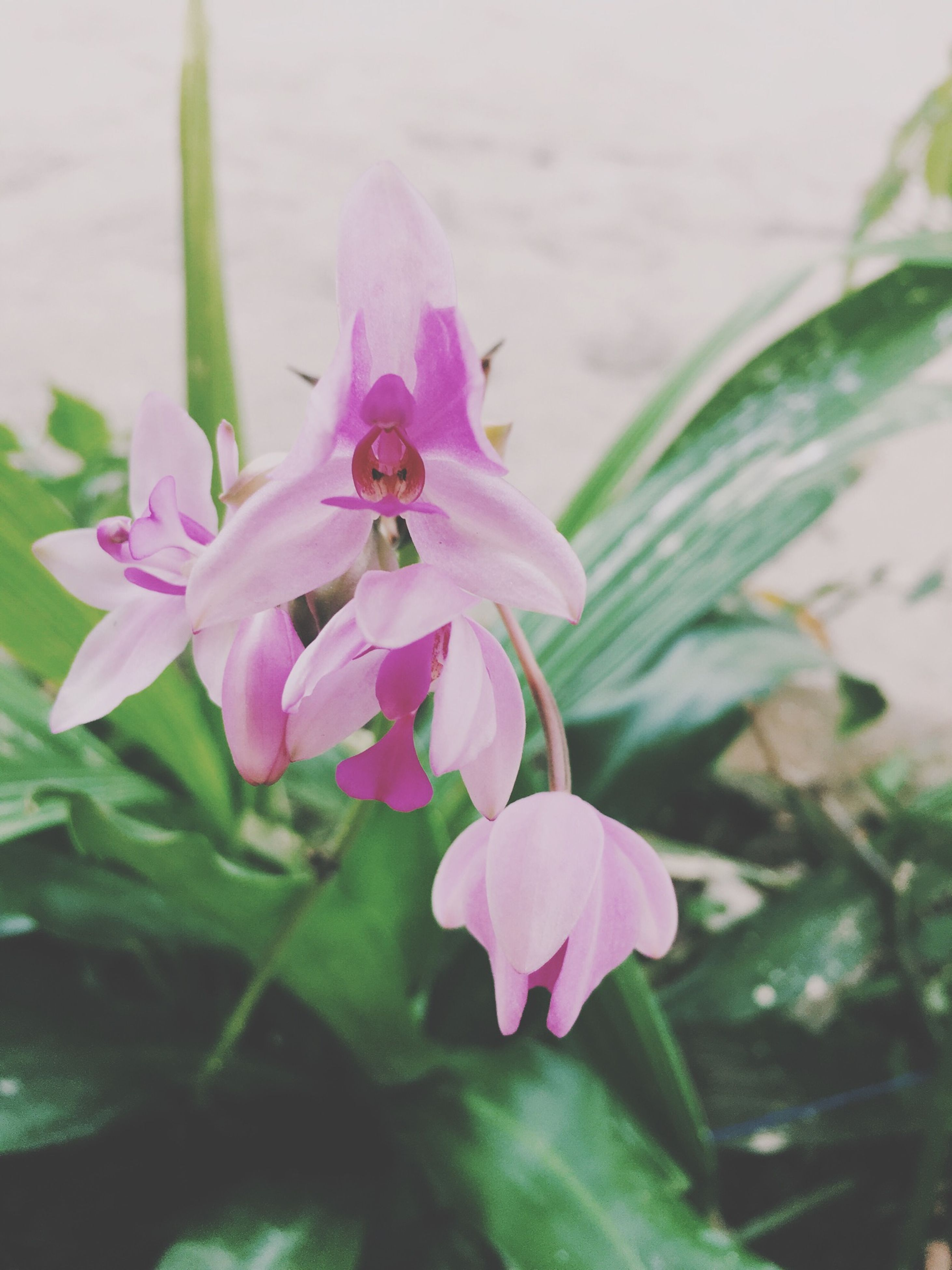 flower, petal, freshness, fragility, flower head, growth, beauty in nature, pink color, close-up, blooming, nature, focus on foreground, plant, leaf, stamen, pollen, in bloom, single flower, stem, blossom