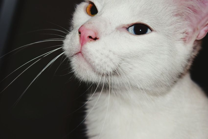 Cat Pets One Animal Animal Themes Mammal Pets No People Indoors  white One Animal Animal Themes Close-up Mammal Domestic Animals Indoors  No People Day whiskers Twoeyescolors Whiskers White Color Eyes