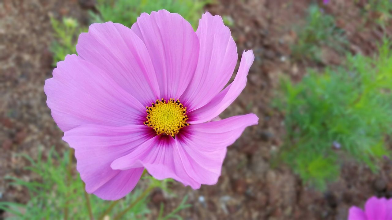 Close-Up Of Pink Cosmos Flower Growing On Field