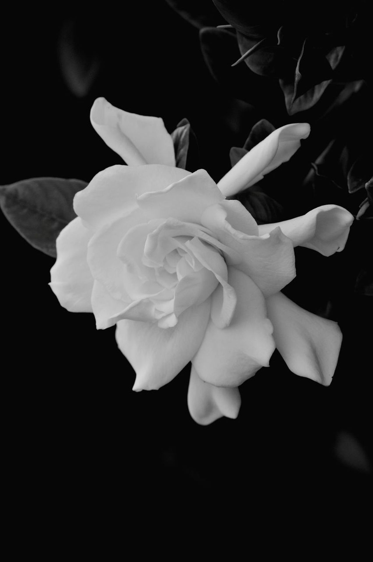 Flower Petal Plant Flower Head Nature Close-up Leaf Beauty In Nature No People Growth Fragility Outdoors Day Gardenia Black And White Black & White Copyspace