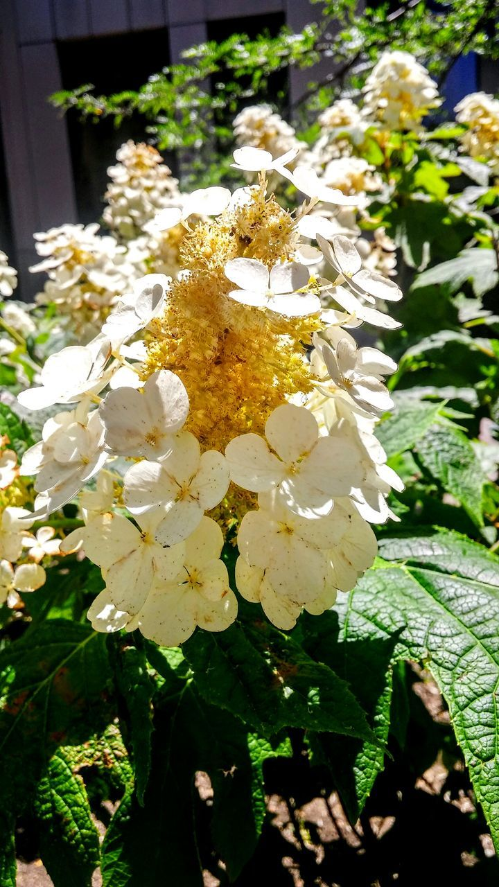 flower, nature, fragility, beauty in nature, white color, petal, freshness, growth, no people, close-up, flower head, day, outdoors, sunlight, plant, tree, blooming
