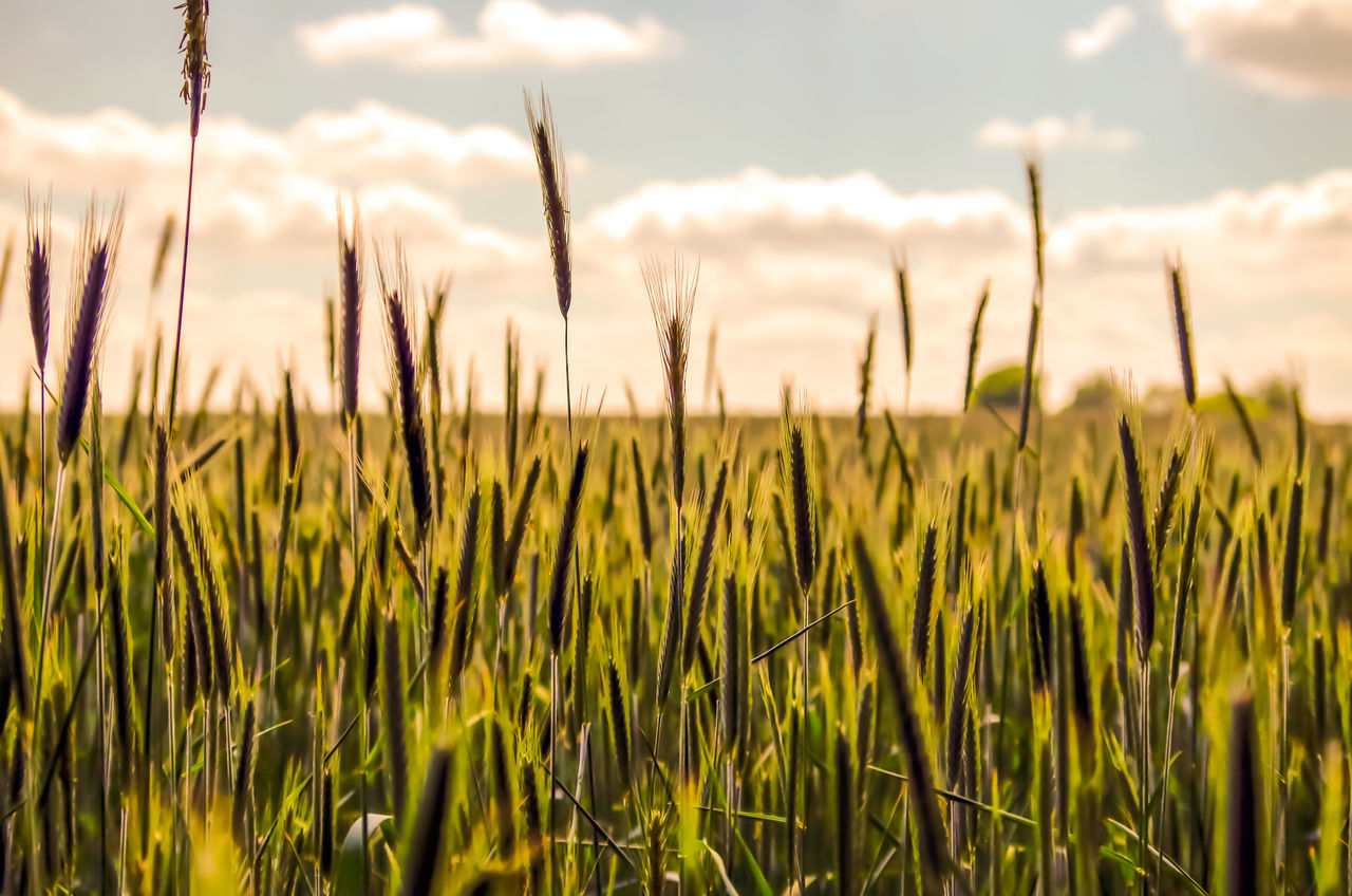 EyeEm Selects Growth Cereal Plant Agriculture Crop  Nature Field Rural Scene Outdoors No People Close-up Day Sky Plant Landscape Summer Wheat Scenics Beauty In Nature Tree Freshness Freedom Wonderlust Inspiration Germany Sommergefühle