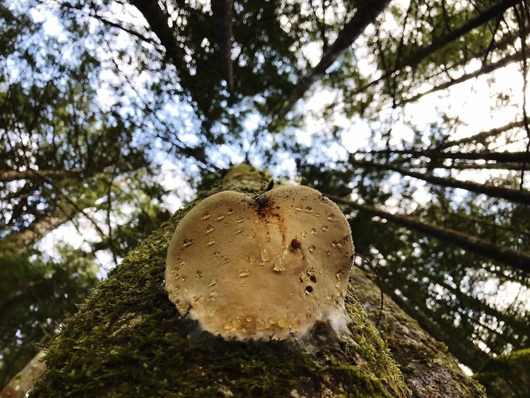 Tree Nature Low Angle View Growth Forest Close-up Outdoors Sky Everything Is Beautiful WestCoast Enchanted Forest Nature Lover Hikingadventures Beauty In Nature Treefungus Simplicity In Nature