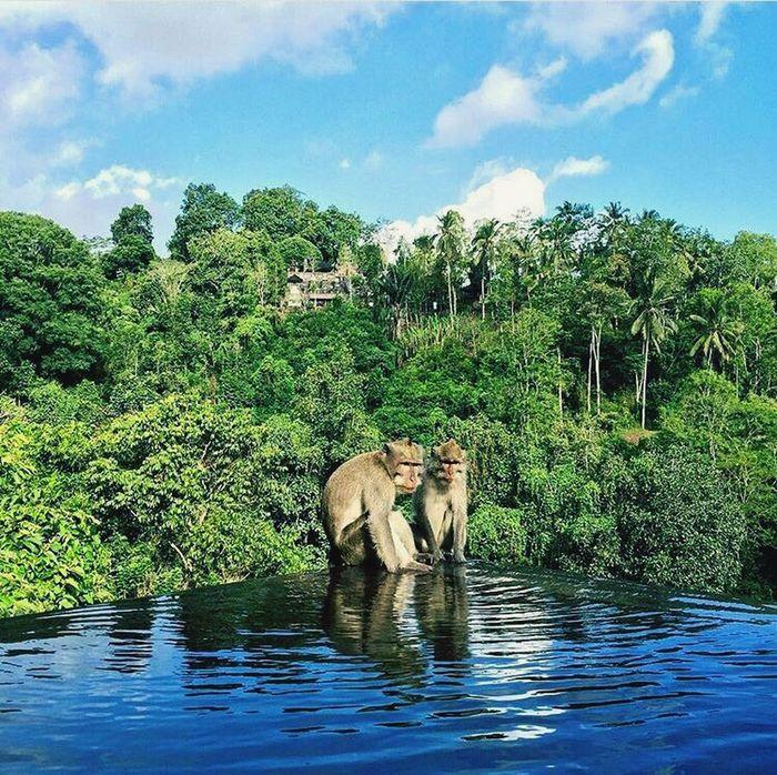 Live For The Story Bali INDONESIA Pool Jungle Nature Monkey Greenery Scenery Rainforest Monkeys