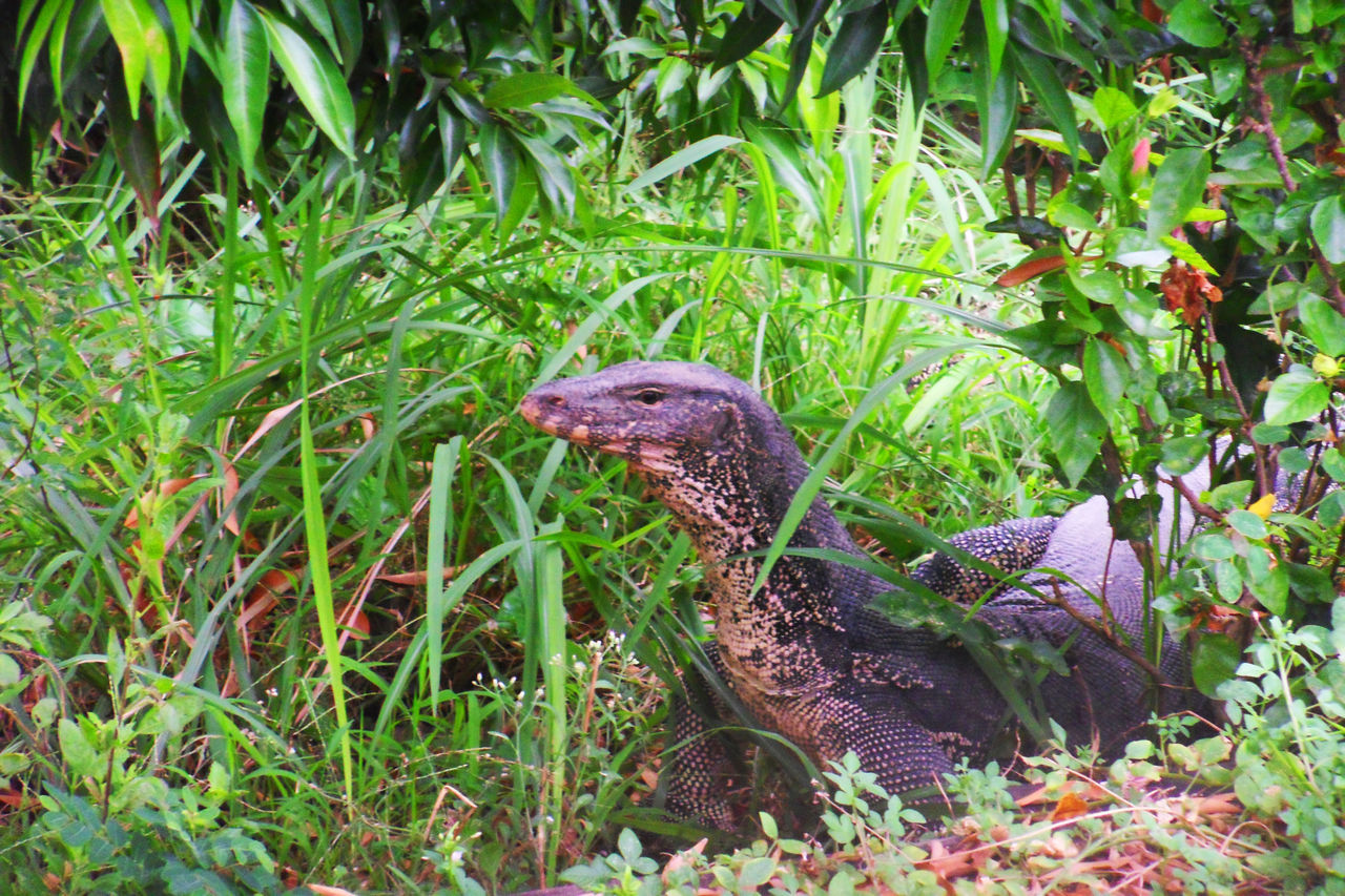 Water monitor in garden Animal Animals In The Wild Garden Green Home House Leaf Leaves Lizard Monitor Lizard Nature One Animal Outdoors Park Plant Ramble Reptile Reptile Reptile Photography Tree Varanidae Varanus Salvator Water Monitor Water Monitor Lizard Wiggle