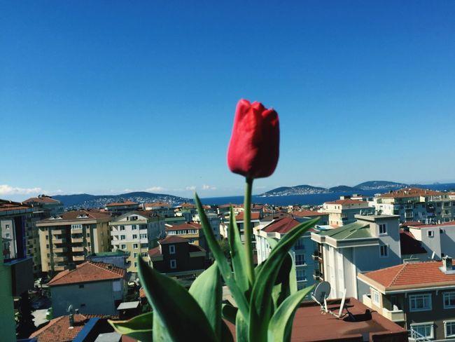 Red Tulip Good Morning World!