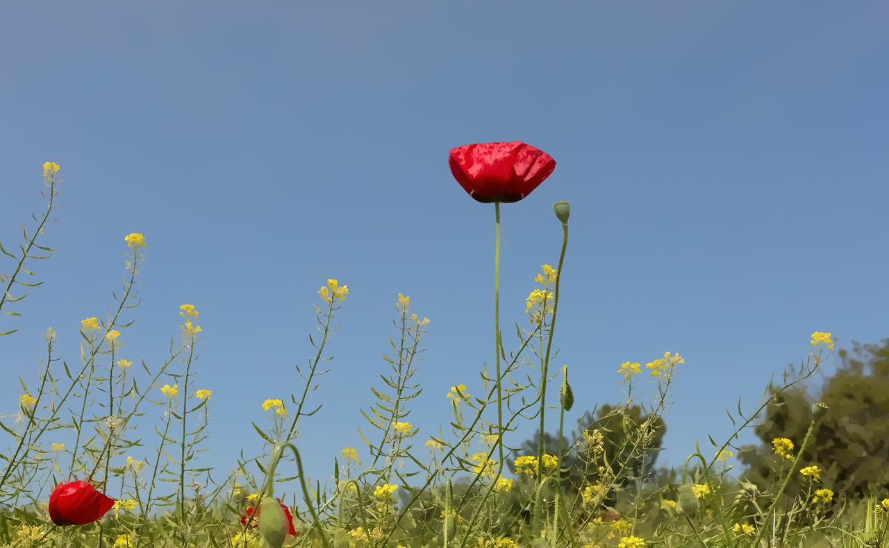 Poppy Fields Beauty In Nature Blue Clear Sky Field Flower Freshness Grass Growth Nature Outdoors Plant Poppy Flowers Red Single Poppy Sky Spring Flowers Springtime Stems Wild Flowers