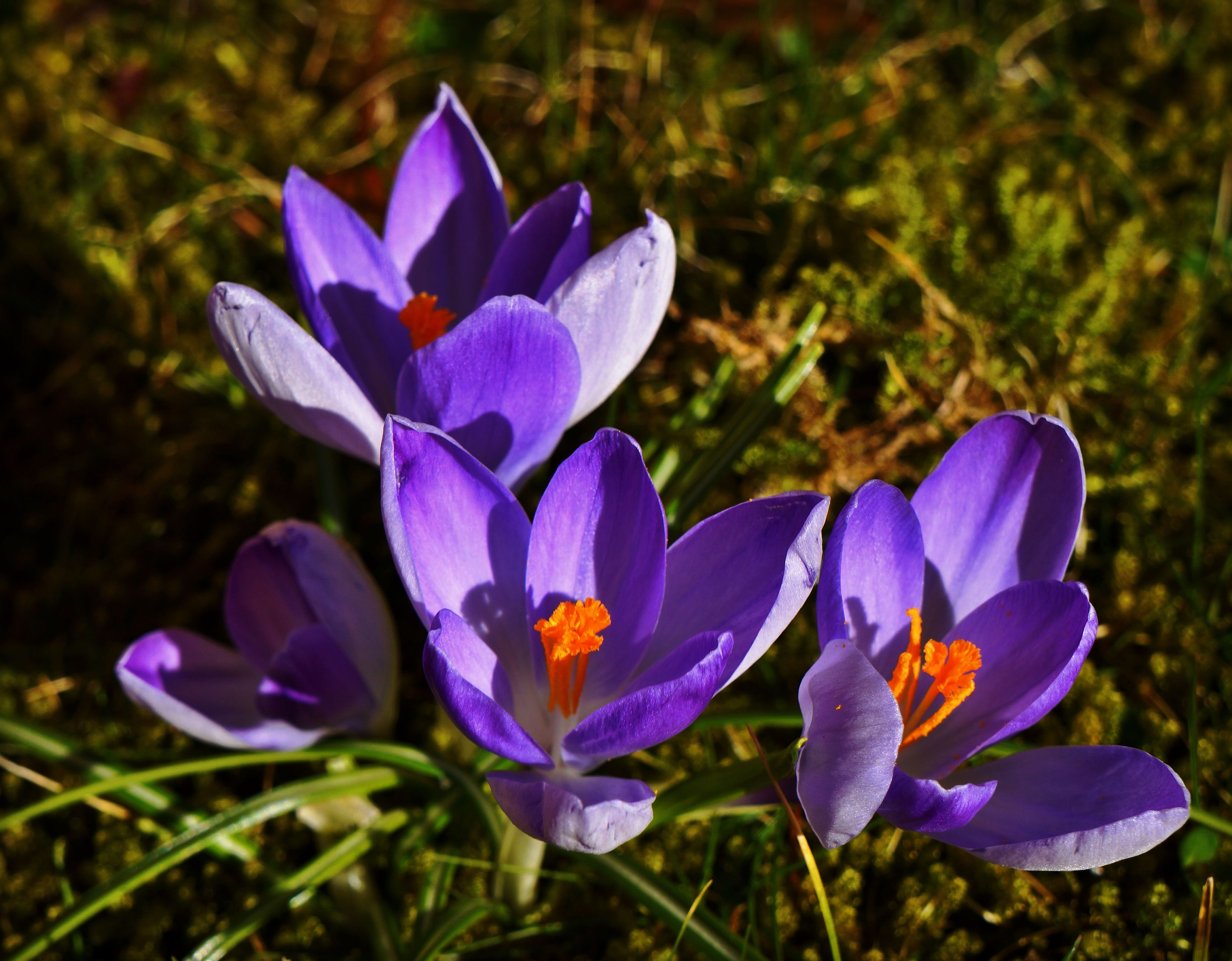 flower, petal, purple, freshness, fragility, flower head, growth, beauty in nature, blooming, close-up, nature, field, focus on foreground, plant, crocus, in bloom, blue, stem, blossom, pollen