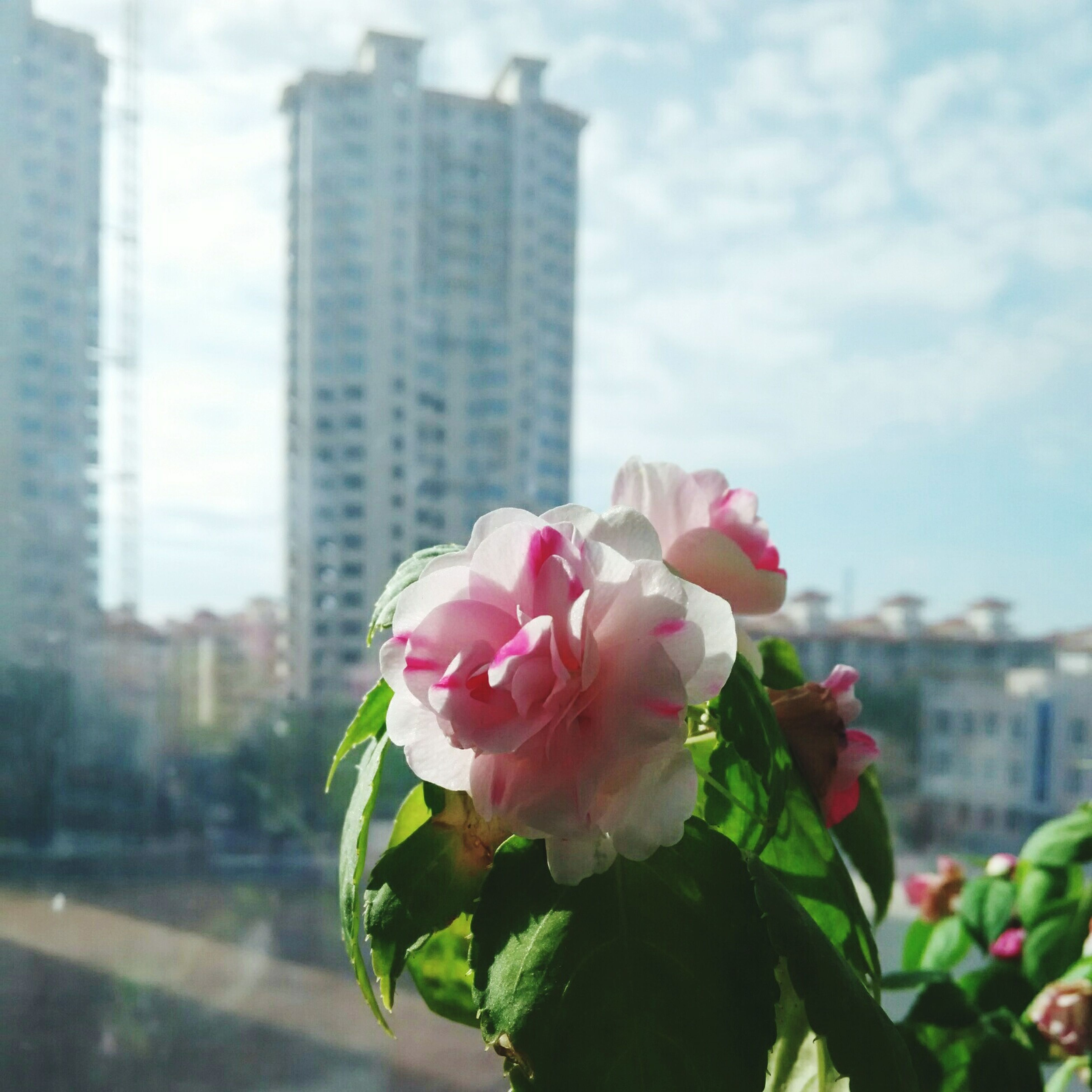 flower, fragility, freshness, petal, building exterior, flower head, architecture, focus on foreground, growth, built structure, pink color, city, sky, close-up, beauty in nature, blooming, nature, in bloom, plant, day