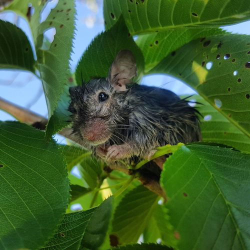 New life for a little mouse :) Leaf Green Color Animal Themes Animals In The Wild Mammal Close-up Nature Looking At Camera Mouse Tree