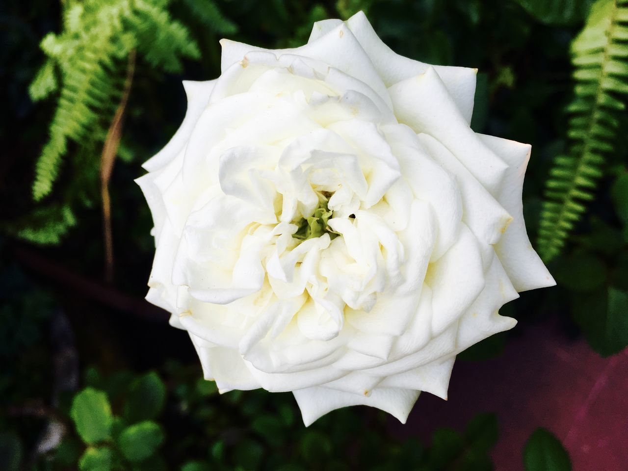 Beauty In Nature Blooming Close-up Flower Nature Outdoors Rose - Flower White Color Tropical Climate Single Flower Single Rose Garden Photography Garden Flowers In Bloom