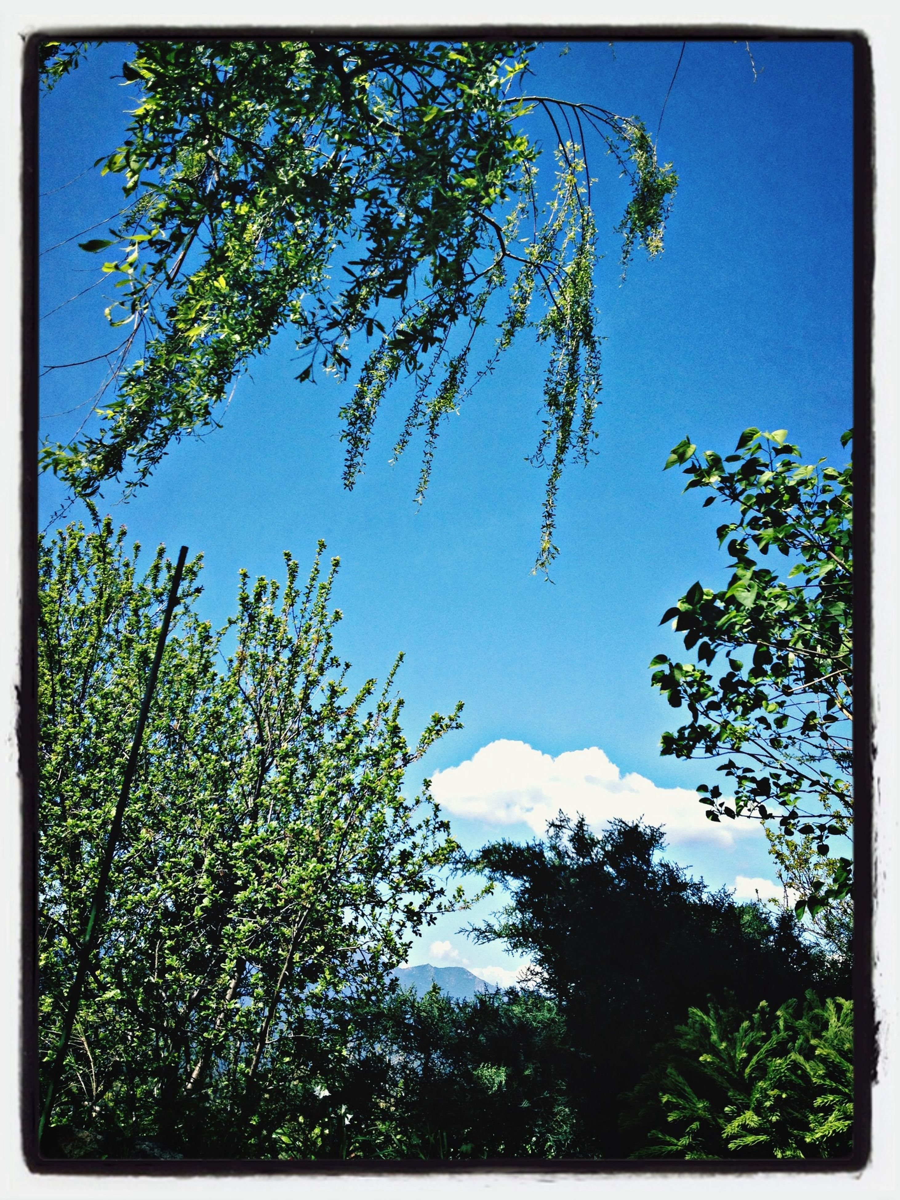 transfer print, tree, blue, low angle view, auto post production filter, growth, branch, clear sky, beauty in nature, nature, sky, tranquility, day, scenics, no people, outdoors, sunlight, flower, leaf, green color