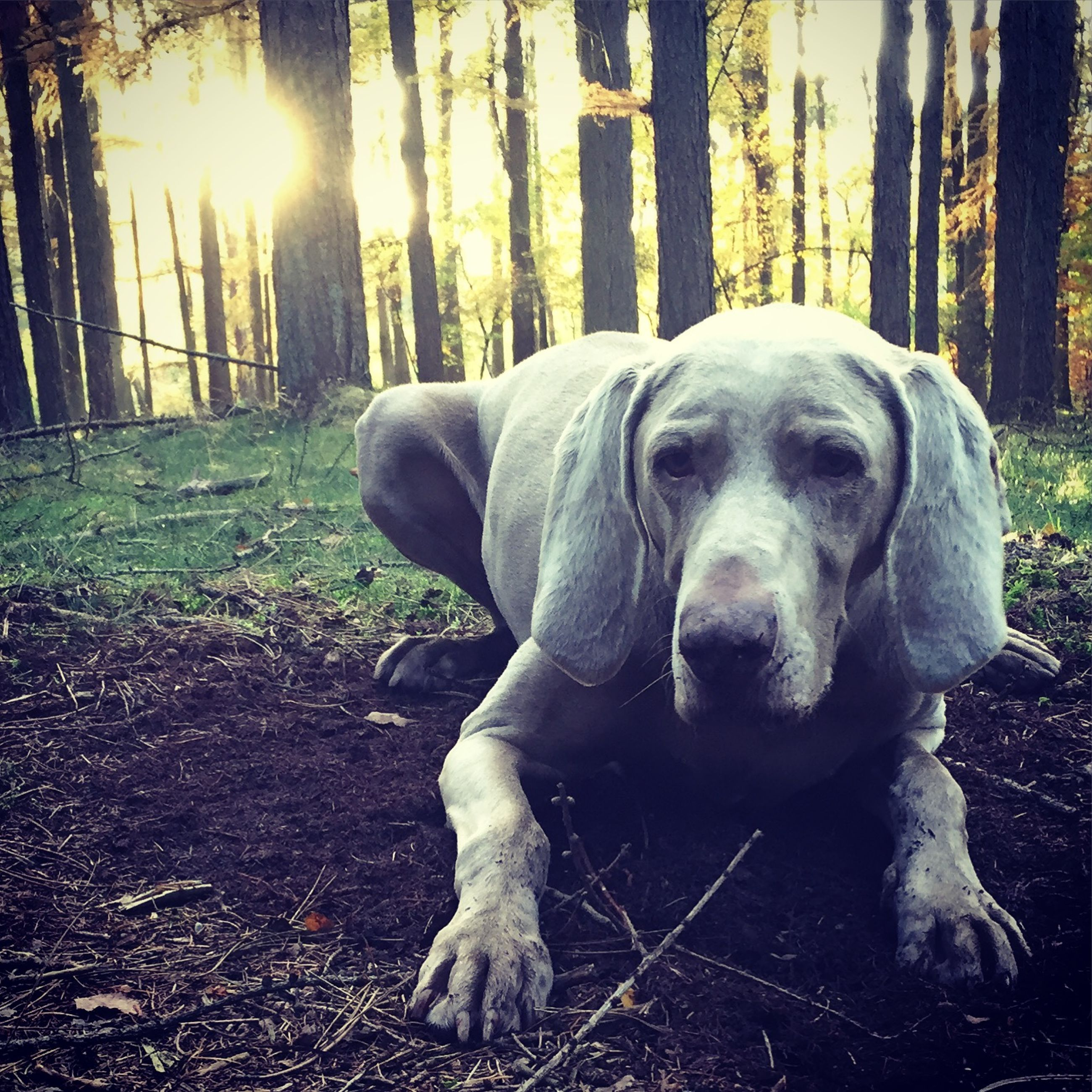 dog, pets, mammal, tree, one animal, animal themes, forest, sunlight, field, domestic animals, no people, outdoors, relaxation, nature, park - man made space, day, close-up, tree trunk, focus on foreground, leaf