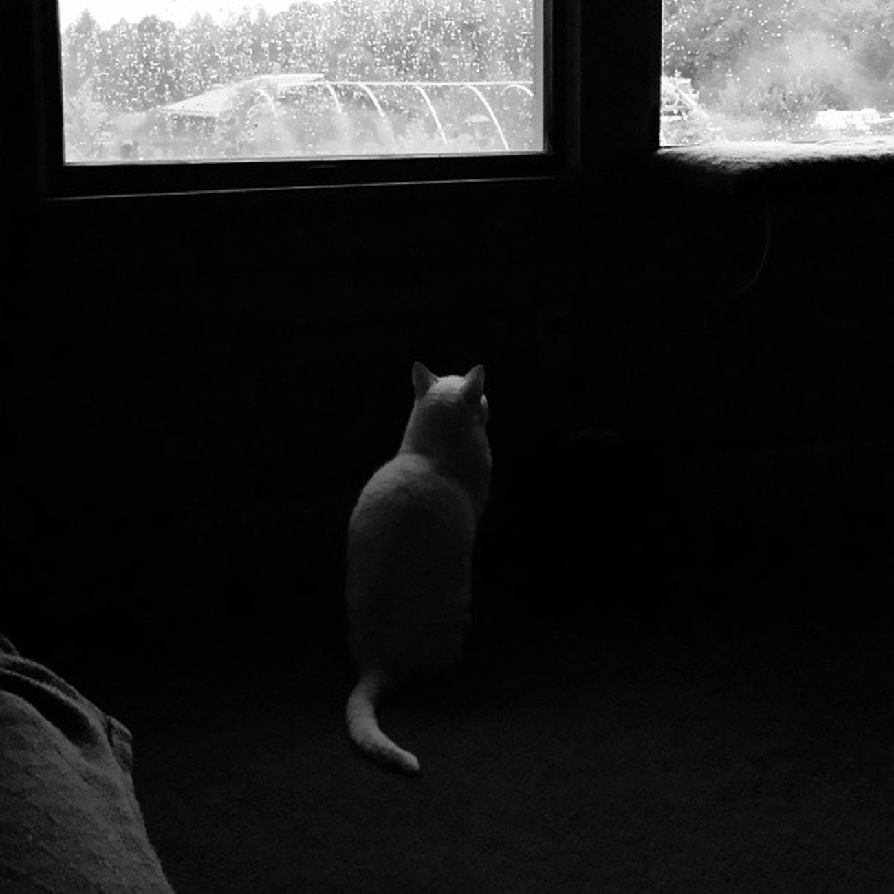 The cat has been staring out the window in this position for 30 minutes. Beginning to freak me out a bit. Petsofinstagram Catsofinstagram Instacat Instakitten blackandwhite goodmorning catsareweird
