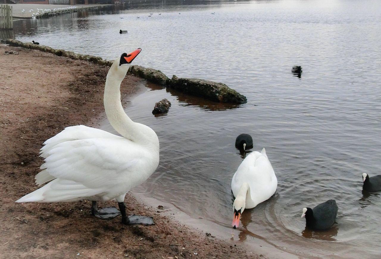 Swans At Lakeshore